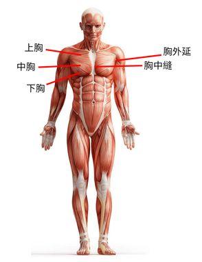 胸肌解剖圖
