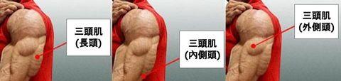 三頭肌-解剖圖