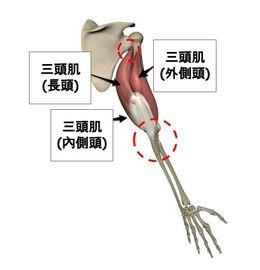 三頭肌-肌群分布