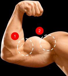 啞鈴二頭彎舉-訓練二頭肌部位