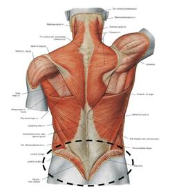 引體向上-背肌圖