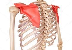 人體骨骼圖 肩胛骨